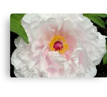 Tree Peony close up Canvas Print