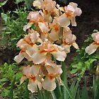 Peachy Irises of Fuller Gardens by RoyceRocks