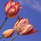 Candy Tulips by Bev Pascoe