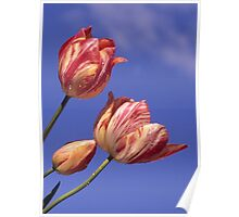 Candy Tulips Poster