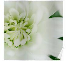 White chrysanth Poster
