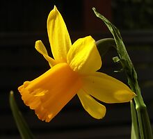 Just Another Stereotypical Daffodil Shot by Fay Freshwater
