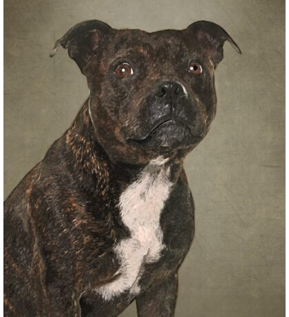 Staffordshire Bull Terrier Portrait Sticker
