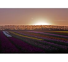 Tulips at Sunset Photographic Print