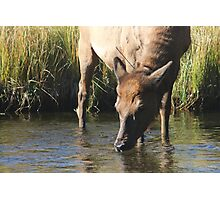 Elk in Yellowstone Photographic Print