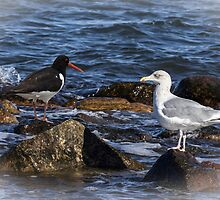 Oystercatcher and Herring Gull by JonnisArt