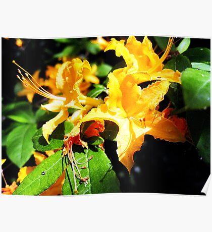 wild golden rhododendron 2 Poster
