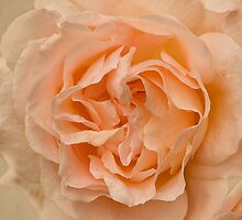 Romantic Scented Tangerine Rose  by jacqi