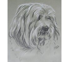 Havanese Photographic Print