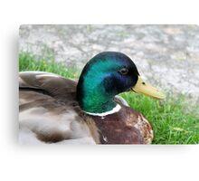duck on grass Canvas Print
