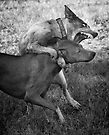 Dogs with game face on .31 by Alex Preiss