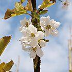 apple blossom by Ianua