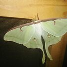 Luna Moth by librapat
