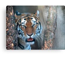 Tiger in the Tree Canvas Print