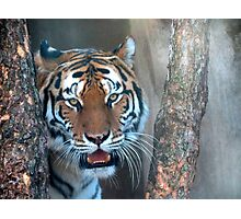 Tiger in the Tree Photographic Print