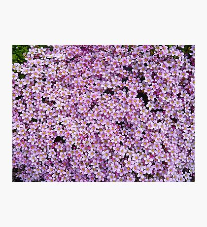 pink flower bed Photographic Print