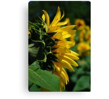 Profile Of A Sunflower Canvas Print