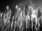Pampas Flare by Yampimon