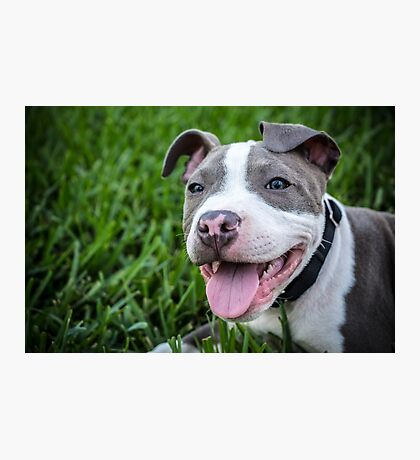 Pit Bull Puppy Smiling Photographic Print