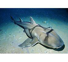 Port Jackson Shark Photographic Print
