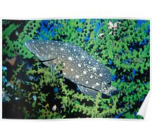 White-spotted Rockcod, Papua New Guinea Poster