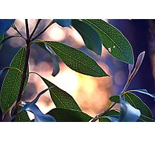 Protea leaves at sunset Photographic Print
