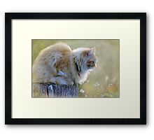 Maine Coon Framed Print