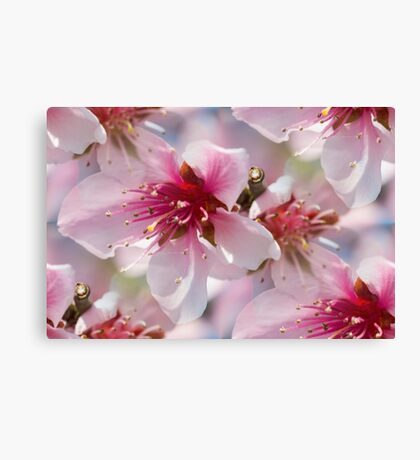 peach blossom in spring Canvas Print