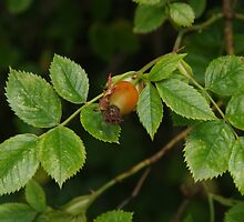 Autumn Cometh - Rosehip by lezvee
