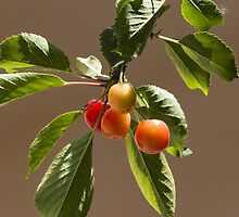 cherries by spetenfia