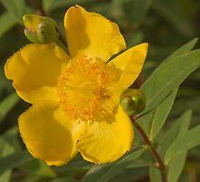 yellow buttercup by spetenfia