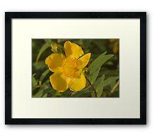 yellow buttercup Framed Print