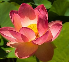 The Lotus, Adelaide Botanic Gardens by Mark Richards