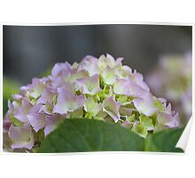 hydrangea in the garden Poster