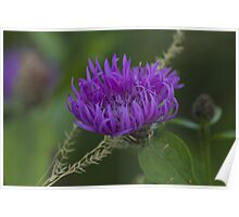 blue flower in spring Poster