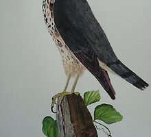 FALCON - water - colour by Marilyn Grimble