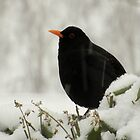 Blackbird In The Snow by Fay Freshwater