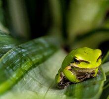 Eastern Dwarf Frog In Habitat Sticker