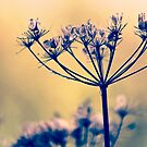 Wild Carrot Seeds by Vicki Field