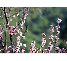 Cherry blossoms in soft afternoon light Photographic Print