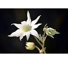 Australian flannel flowers Photographic Print