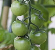 tomatoes in the garden by spetenfia