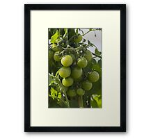 tomatoes in the garden Framed Print
