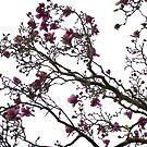 Magnolia by JeniNagy