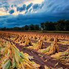 Tobacco Harvesting by KellyHeaton