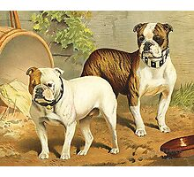 Vintage Painting of English Bulldogs Photographic Print