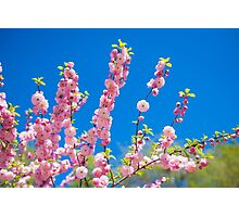 Beautiful pink cherry blossoms on a blue background. Sakura Photographic Print