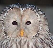 Ural Owl Close Up and Personal by imagetj