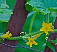 Cucumber flower by Carolyn Clark