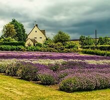 Lavender Fields by Mike Cave